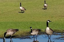 黑雁觅食嬉戏记之一。下雨了,在这一片不大的草地上,雨水慢慢在低洼处,积成了几个大大小小的水池,每天吸