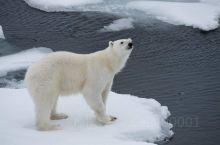 北极圈丨国际北极熊日