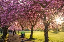 愛丁堡的櫻花