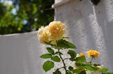 Rose, 玫瑰还是月季?
