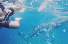 菲律宾宿务鲸鲨