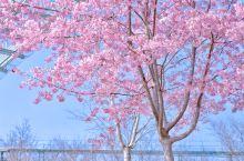 成都樱花拍照圣地|假装在京都(附滤镜