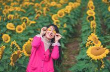 油菜花之后是夏日的向日葵园:浦口张圩
