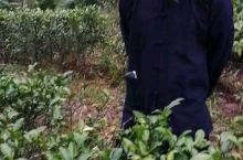 满山茶花的花期要来了,龙州八角乡的后山茶传承人,秋茶收完了,茶花不会收,最多给熟客来摘。