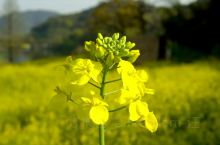 杭州湘湖油菜花|金色海洋