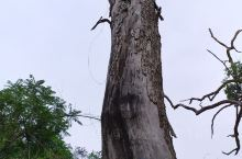 状元村 老樟树