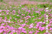 花开如霞,爱在晚秋∽泰州爱情海欢乐田园