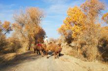 喀喇昆仑山高原雪山下的骆驼与美女!