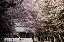 立春!同时赏樱又赏梅 丨北海道神宫