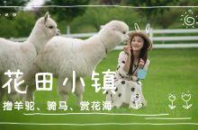  花田小镇VLOG 武义 撸羊驼 