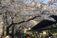 当年日本看樱花