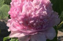 景山公园春季花展#牡丹国色天香怒放迎客