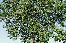岁月大杨树