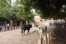 印度街头牛为大