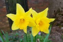 剑桥水仙花绽放: 严冬远去 春天翩然而至