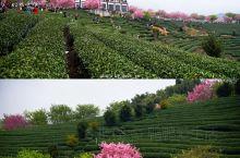 国内最大樱花园就在永福,茶香花香正当时