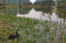 湖边观黑天鹅。