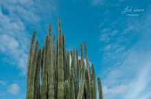 夏威夷的植物 仙人柱亚科管风琴仙人掌