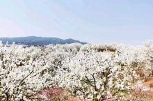 云南蒙自—梨花盛开的地方