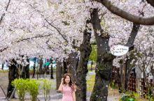 适合拍大片樱花照波拉梅公园