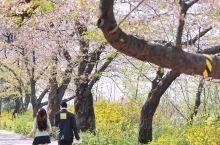 只走花路的首尔樱花季