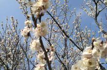 秋天的婺源除了秋晒,还有漫山遍野的桃花。