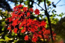 寒葱岭的红叶别样红~敦化