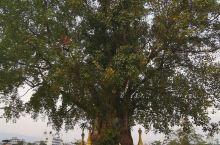 树包佛塔奇观。