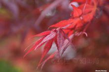 红枫长情,牡丹添香!四月记忆,梦回长安!