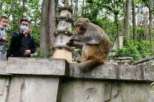 贵阳黔灵山-满山的猕猴