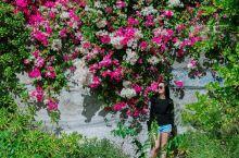 夏威夷一年四季都在盛开的光叶子花