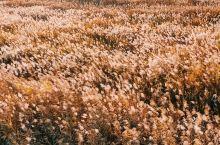 滨州秋日旅行好去处 麻大湖湿地公园看芦花  滨水之秋.风切残阳.芦花万千 无论如何.心很安静.话也简