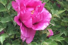 文化公园的牡丹花盛开了,好一片姹紫嫣红,富贵大气国色天香的牡丹花让人流连忘返!