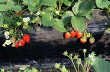 冬天摘草莓