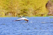 肯尼亚的博高利亚湖,不仅生活着数百万只的火烈鸟,也生活着其他的鸟类和动物。在湖面,时常可以看到飞鸟,