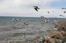 青海湖的海鸥们