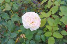 昨晚在老家体育馆拍的,散发出淡淡的清香这样纯色的花中之王除了神韵还美在了颜色,花朵枯萎和人生面临的死