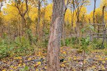 松木岭的黄花铃