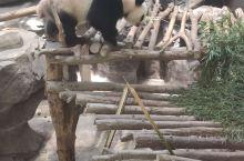 熊猫,国中之宝