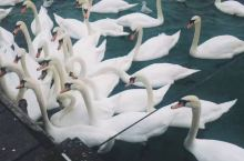日内瓦湖滴天鹅是有多美