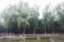 北方的柳树,有点丑