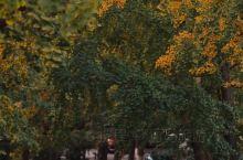 青岛的秋,怎么能少了八大关的那抹金黄
