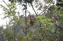 鸡鸣桑树巅