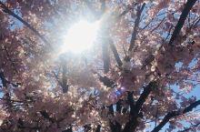 樱花正当时
