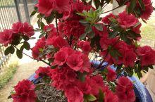杜鹃花和玫瑰