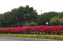 南宁的春天来得早,满城花开,民族大道竹溪立交桥上的三角梅盛放,红灿灿的,在民歌湖边的民族大道,一排木