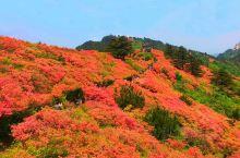 世界上面积最大的古杜鹃花群落