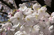 樱花的特写