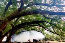 霞浦,杨家溪,最大的古树王。树干弯弯的垂落在地上,像是个月牙儿形。阳光透过树缝,斜斜的洒在地上。人在