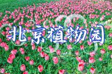 《1分钟畅游北京植物园郁金香花海》